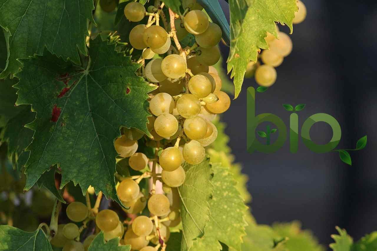 Bio víno – kvalita a žádný bolehlav